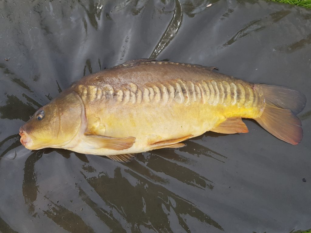 pole caught carp